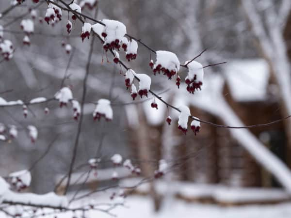 Closeup of a crab apple tree during the winter, covered in snow.