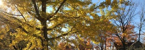 golden fall leaves over a sidewalk